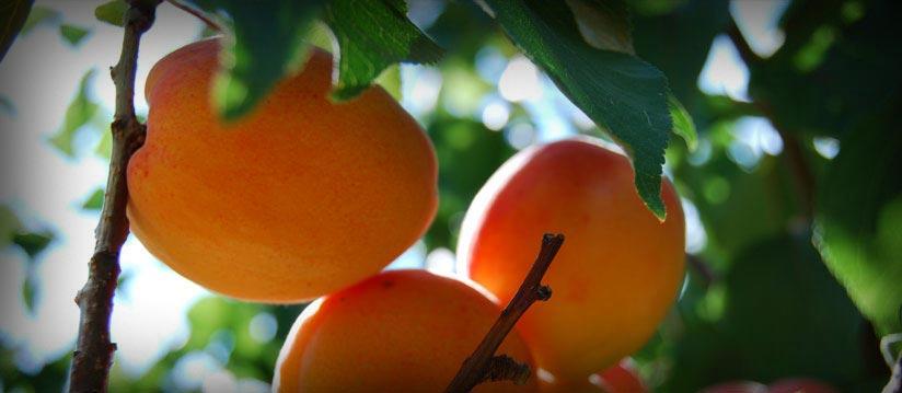 Abricots Caminottes